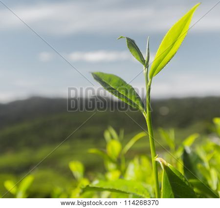 Tea (Camellia sinensis) top leaves on the blue sky background. Focus on leaves