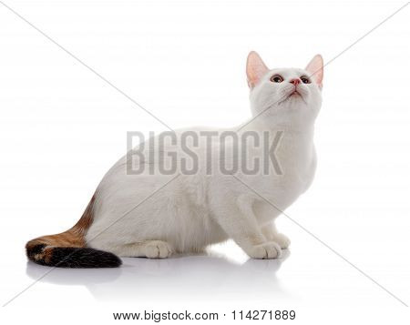 White Domestic Cat With A Multi-colored Tail Looks Up