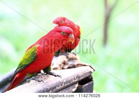 Red Lory Bird