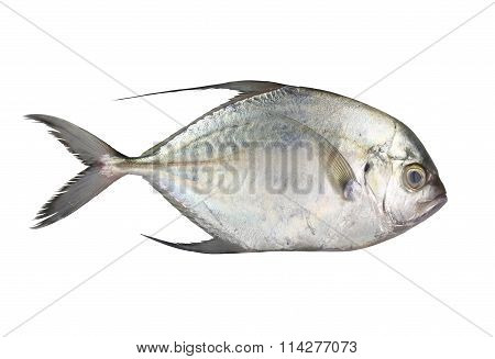 Carangoides Fish Or Longfin Trevally Is Marine Animal On White Background.