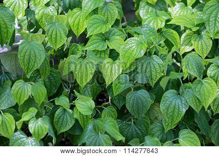 Green Leaves In The Backyard.