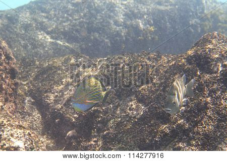 Clown surgeonfish in Indian Ocean near Seychelles.