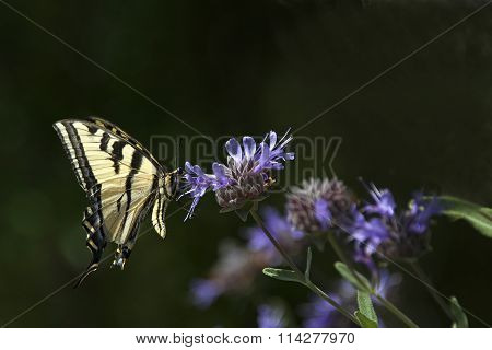 Yellow and Black Swallowtail Butterfly on Purple Clary Sage flower bush