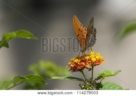 Passion butterfly on lantana flowers