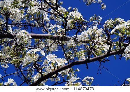 Callery Pear Tree Blossoms
