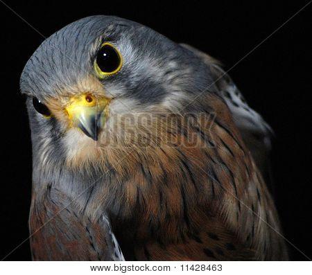 Peregrine(british Bird of Prey)