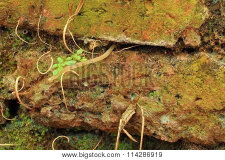 Small Tree With Tree Root Grow Amidst The Wall.