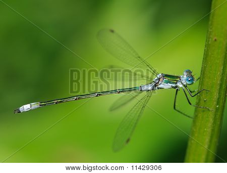 Common Emerald Damselfly Lestes sponsa