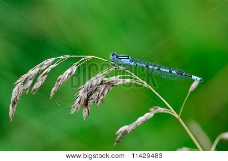 Common Bluet Enallagma cyathigerum
