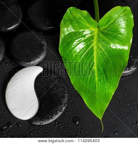 Beautiful Spa Concept Of Yin-yang Stone Texture And Green Leaf Calla Lily With Dew On Black Backgrou
