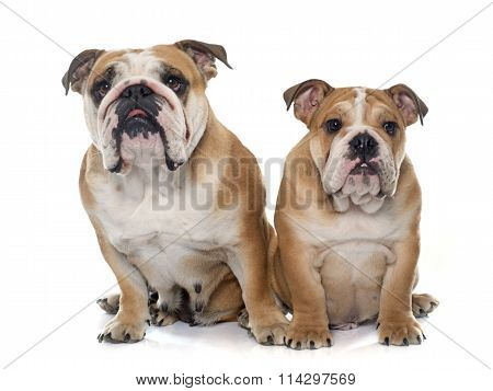 Adult And Puppy English Bulldog