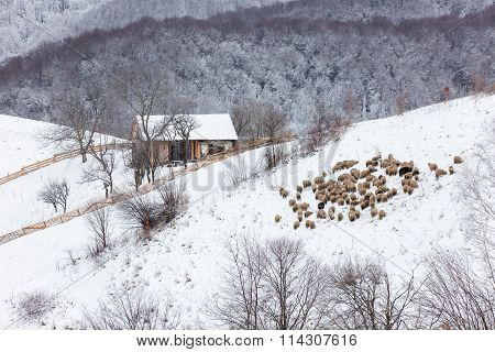 Winter rural landscape of a house and a flock of sheep on a hill