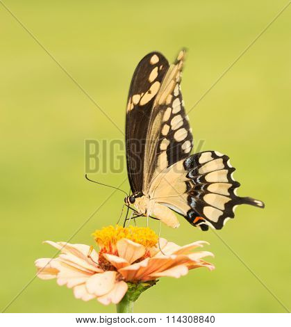 Giant Swallowtail butterfly on a pale orange Zinnia with green background