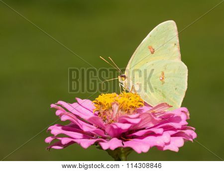 Bright yellow female Cloudless Sulphur butterfly feeding on a pink Zinnia