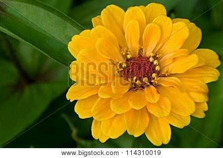 Zinnia Elegans Yellow Flower
