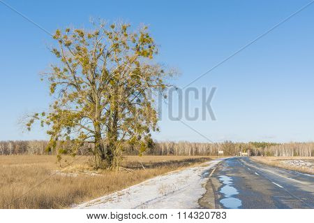 European mistletoe attached to lonely tree