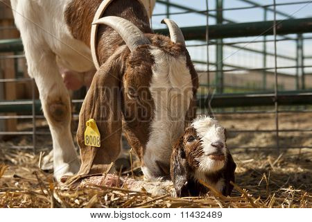 Boer Goat with New Born Kid