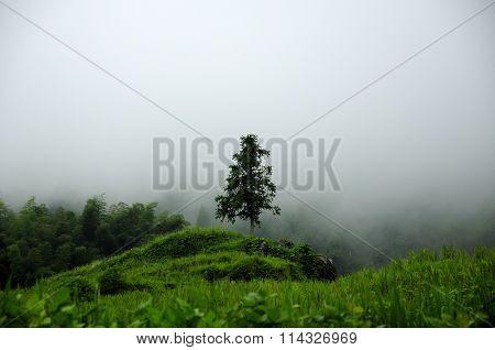Solitary Evergreen Tree