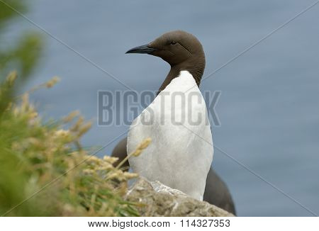 Guillemot Or Common Murre