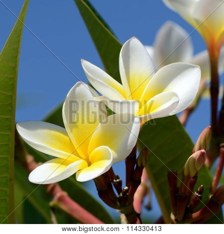 Frangipani Flowers On Bright Sky Background.