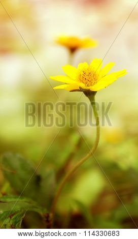 Yellow Fresh Daisy Field, Blooming Spring Flowers Over Warm Sunset.