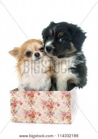 Puppy Australian Shepherd And Chihuahua