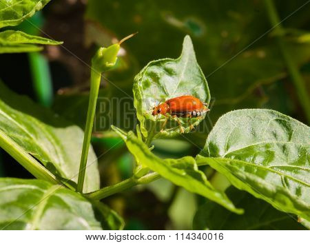 Macro Of Cucurbit Beetle On Green Leaf