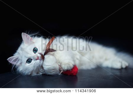 White cat chinchilla. Fluffy cute pet animal with bright green eyes