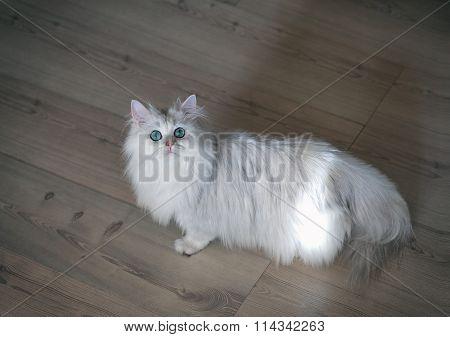White cat chinchilla on a bright background