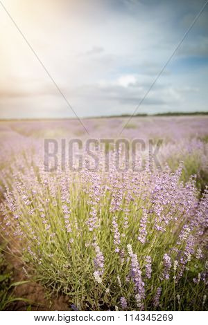 Lavender Flower Field, Cloudy Sky