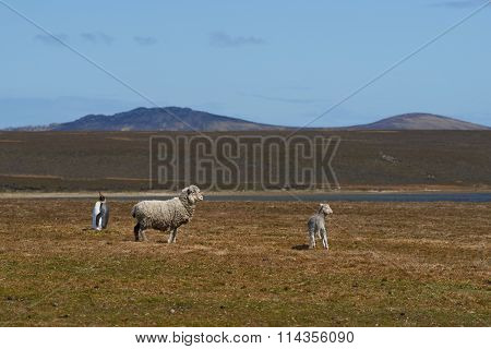 King Penguin on a Sheep Farm