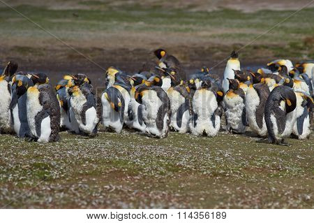 King Penguins Moulting