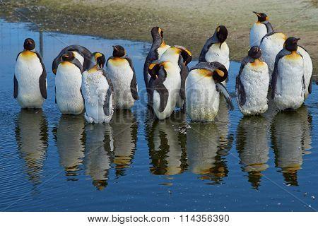 King Penguins Moulting