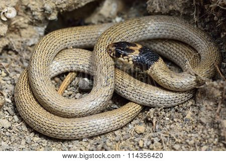 Collared dwarf snake (Eirenis collaris) coiled at rest