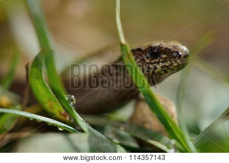Slow worm (Anguis fragilis) close-up amongst grass