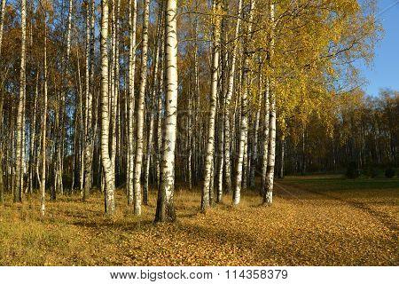 Birches In Autumn Park.