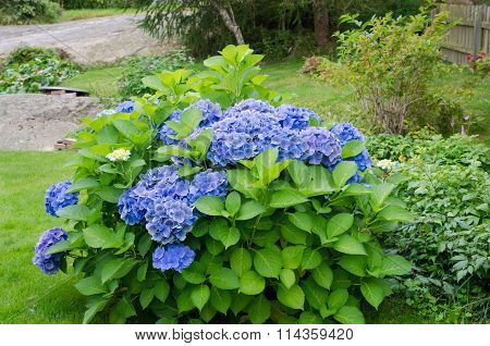 Beutiful Garden Hortensia With Blue Flower