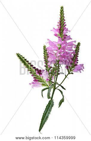Physostegia virginiana eyeful tower flower isolated on white