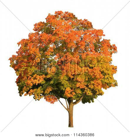 Sugar maple tree in the fall isolated on white,