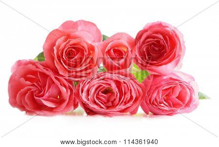 Fresh pink roses isolated on white background