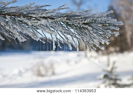 Pine branch in frost