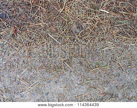 The fallen-down pine needles