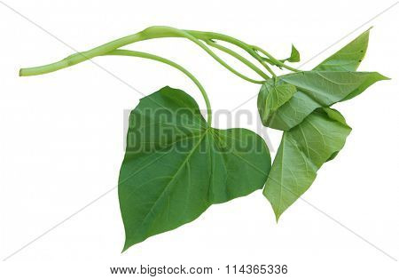 Single branch of sweet potato leaves Belacan Yam Leaf