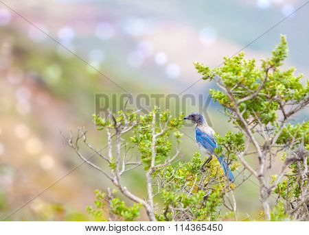 Western blue bird sitting on the branch in the summer time
