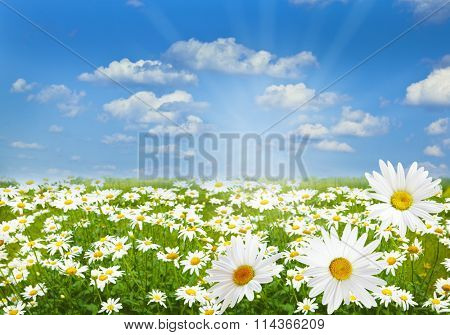 White Chamomile marguerite daisy flowers on the filed