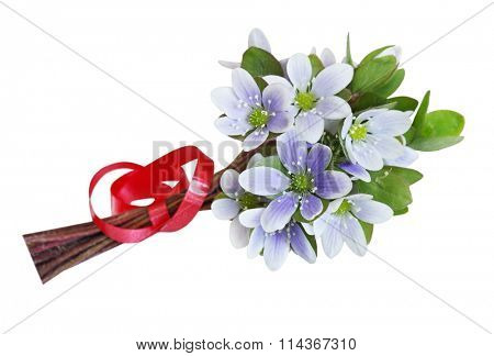 Blue and white Hepatica Nobilis bouquet with red ribbon