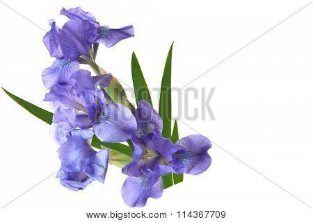 Blue Dwarf iris flowers isolated on white