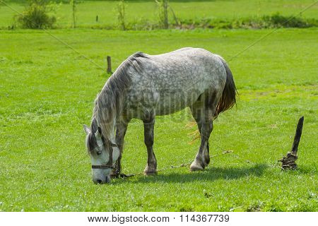 Dappled mare grazing fresh herbs