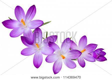 Fresh purple crocus flowers on the curve