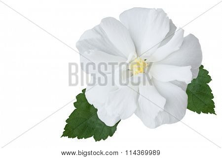 Multi petals hibiscus flower isolated on white background